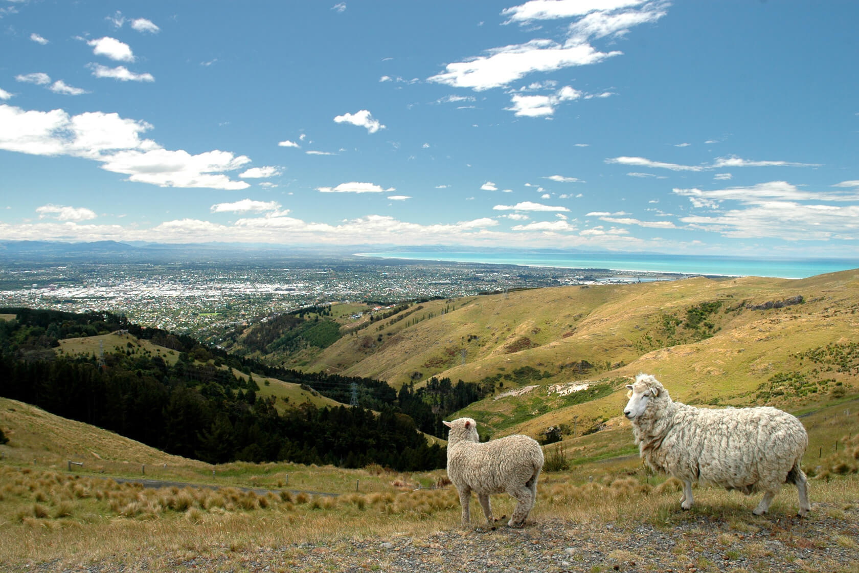 Two sheep on a hill overlooking Christchurch, New Zealand