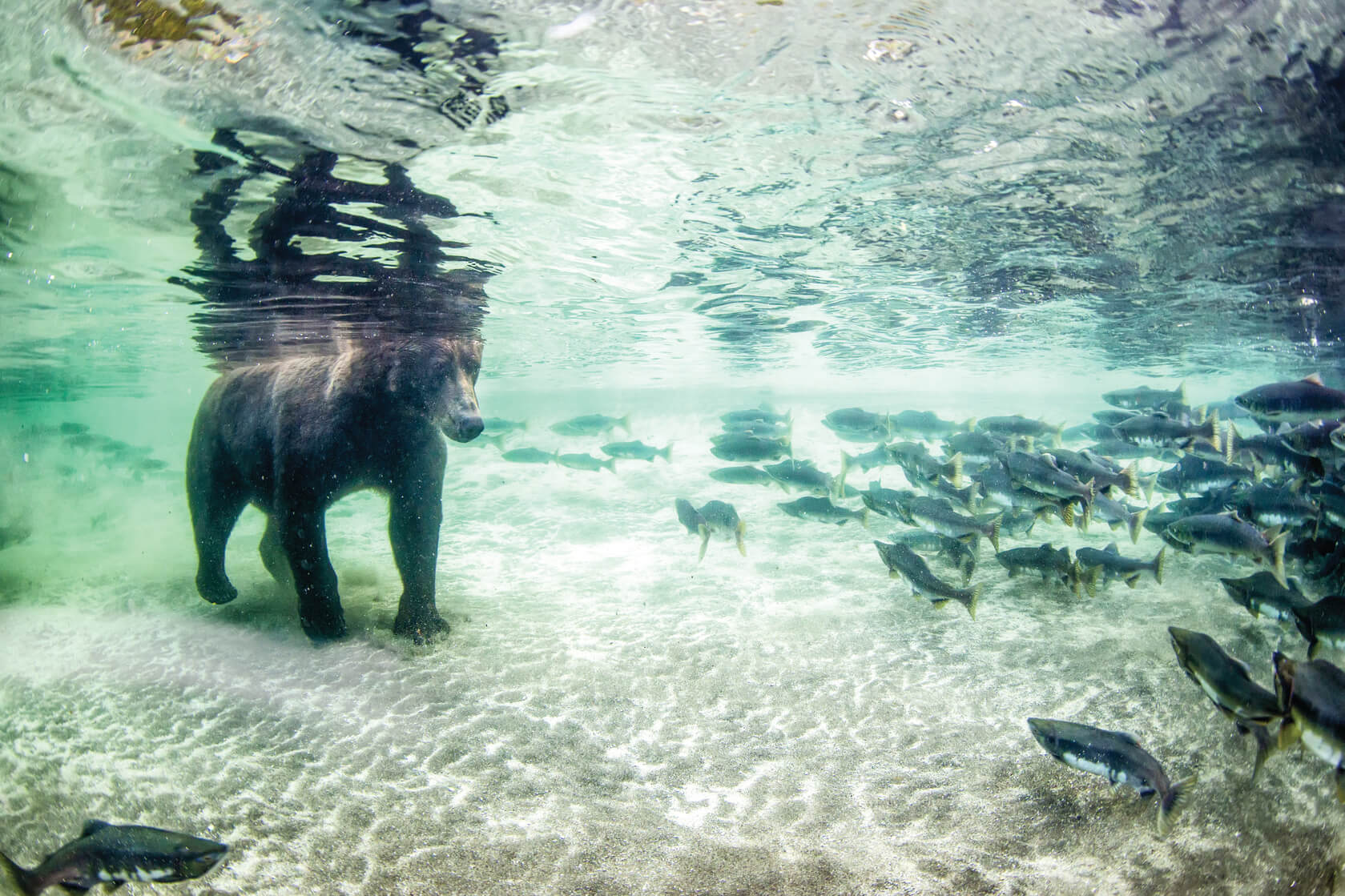 A bear walks under the water toward some fish
